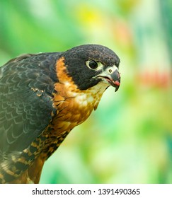 The peregrine falcon (Falco peregrinus), also known as the peregrine is a widespread bird of prey in the family Falconidae.
