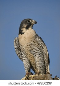 """The Peregrine Falcon (Falco peregrinus), also known as the Peregrine, and historically as the """"Duck Hawk"""" in North America. Jess on legs."""