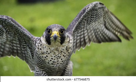A peregrine falcon (Falco peregrinus), also known as the, 'peregrine' and historically as the duck hawk in North America flaps its wings in readiness for take off whilst looking directly at the camera