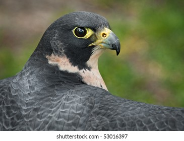 Peregrine Falcon (Falco peregrinus) Outstretched Wings - captive bird