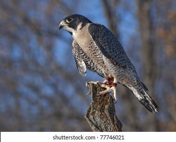 Peregrine Falcon (Falco peregrinus) The Peregrine is renowned for its speed reaching speeds of over 320 km/h (200 mph) making it the fastest member of the animal kingdom