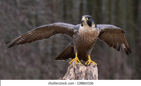 A Peregrine Falcon (Falco peregrinus) spreading it's wings while perched on a stump.  These birds are the fastest animals in the world.