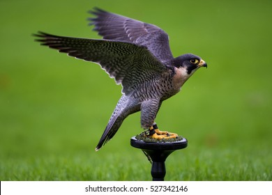 Peregrine Falcon (Falco peregrinus). These birds are the fastest animals in the world.