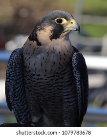 Peregrine Falcon. The fastest animal on earth, reaching speeds of 200 mph as they dive after their prey. The pesticide DDT is killing these beautiful raptors.