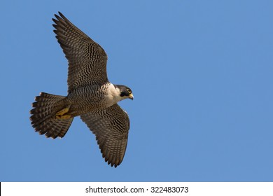 Peregrine Falcon flies by overhead on a clear blue sky