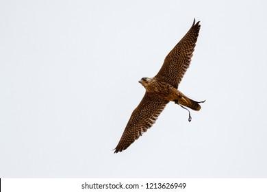 Peregrine falcon in flight. Falco peregrinus.