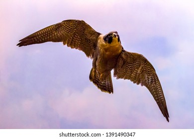 The peregrine falcon in flight (Falco peregrinus), also known as the peregrine is a widespread bird of prey in the family Falconidae.