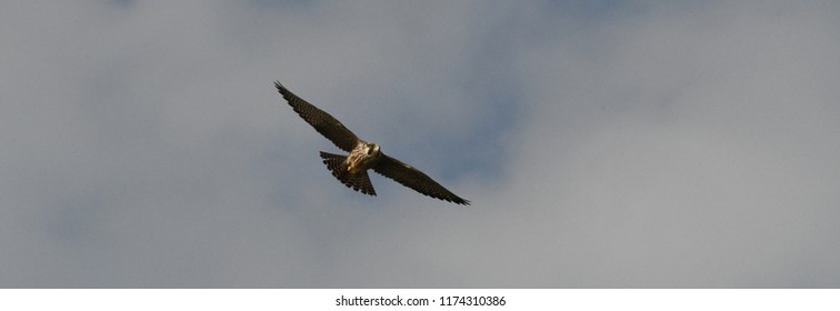 Peregrine Falcon flying