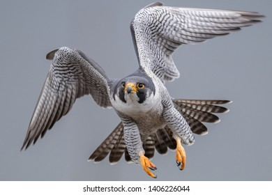 Peregrine Falcon Flying and Diving