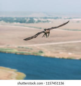 Peregrine falcon flying in the field. Bird of prey Peregrine Falcon on the hunt. Peregrine falcon in the nature habitat. Predator bird hunting at steppe prairie. Wildlife background.
