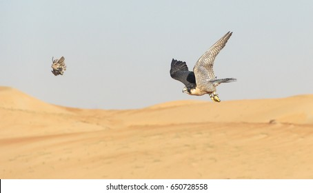 Peregrine Falcon flying over the arabian desert to catch its prey