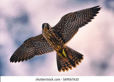 Peregrine Falcon flying through blue sky, Falco peregrinus.