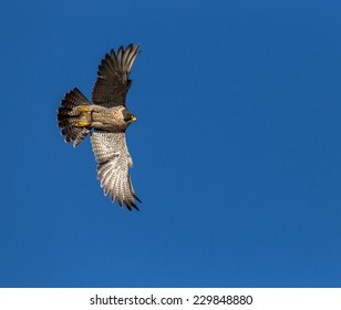 Peregrine Falcon flying through the wild blue yonder