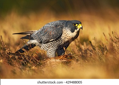 Peregrine falcon in the grass. Bird of prey on heather meadow in the nature habitat.