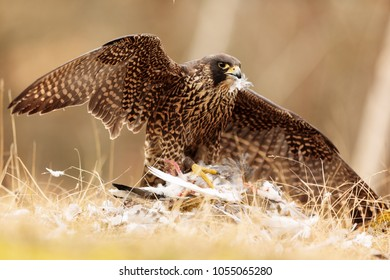 Peregrine falcon has pigeon feathers in  the beak