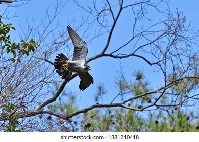 Peregrine Falcon (Hayabusa) is carrying bait busily during breeding season