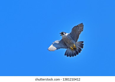 Peregrine Falcon (Hayabusa) is flying acrobatically on the blue sky back