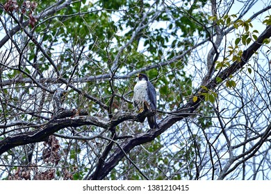 Peregrine Falcon (Hayabusa) is in relax mode
