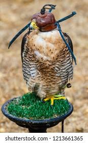 Peregrine falcon with hood. Falco peregrinus.