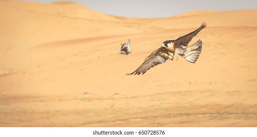 Peregrine Falcon hunting in Arabian desert and  about to catch its prey