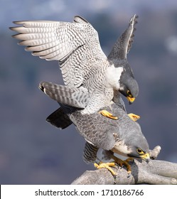 The peregrine falcon, also known as the peregrine, and historically as the duck hawk in North America, is a widespread bird of prey in the family Falconidae. A large, crow-sized falcon, it has a blue-