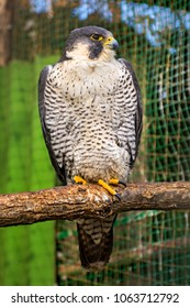 Peregrine Falcon, a large beautiful cards, strong Hawk, bird of prey in the wild. flying bird of prey.