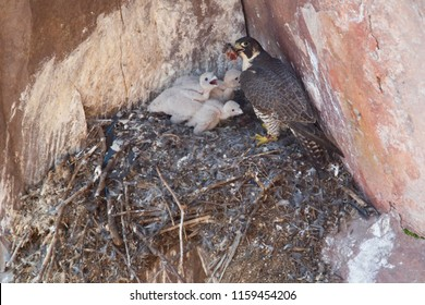 Peregrine falcon in natural nest in Minnesota Agnieszka Bacal.