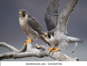 Peregrine Falcon in New Jersey