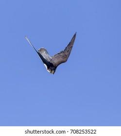 Peregrine falcon in a nose dive