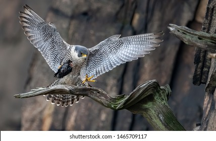 Peregrine Falcon on Cliffs in New Jersey
