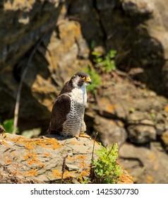 Peregrine falcon on the rocky coast of the Japanese sea in Vladivostok