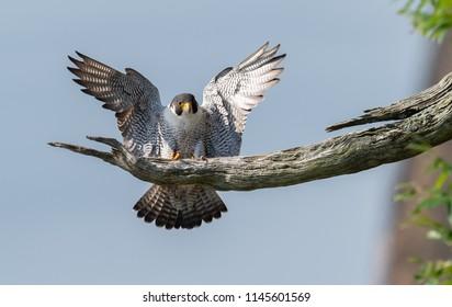 Peregrine falcon over the Hudson River