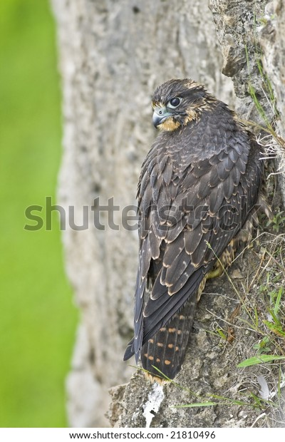 Peregrine falcon perching on the rocky cliff