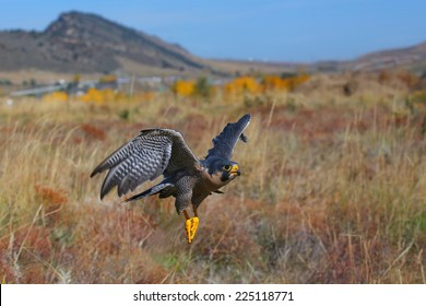 Peregrine falcon (Falcon peregrinus) flying in a field