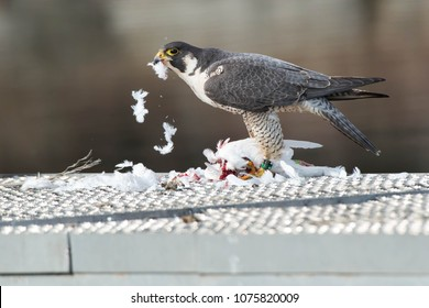 Peregrine Falcon plucking the feathers off of a pigeon it has killed. Humber Bay Park, Toronto, Ontario, Canada.