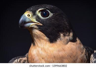 Peregrine Falcon, Portrait Australian Raptor Peregrine Falcon,
