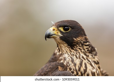Peregrine falcon portrait close up