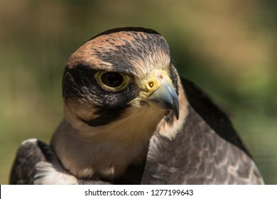 Peregrine Falcon portrait while looking alert and for prey