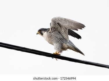 A peregrine falcon raises its wings as it prepares to fly from a utility wire perch