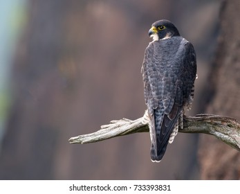 Peregrine Falcon Sitting on Branch