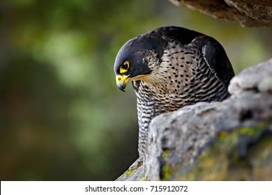 Peregrine Falcon sitting on the rock. Rare bird in nature habitat. Falcon in the Czech mountain Ceske Svycarsko National Park. Bird of prey sitting on rocky ledge.