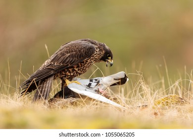 Peregrine falcon is starting eat pigeon