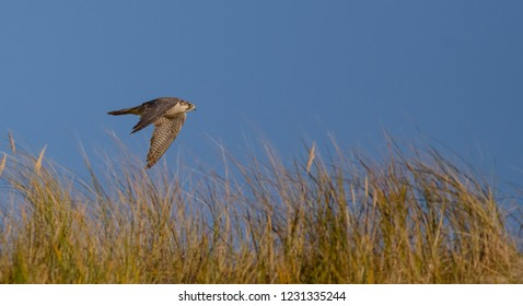 Peregrine Falcon - Wanderfalke - Falco peregrinus - flying over the dunes at Curonian spit, Lithuania.