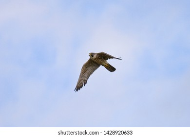 Peregrine Falcon winging across a partially cloudy sky