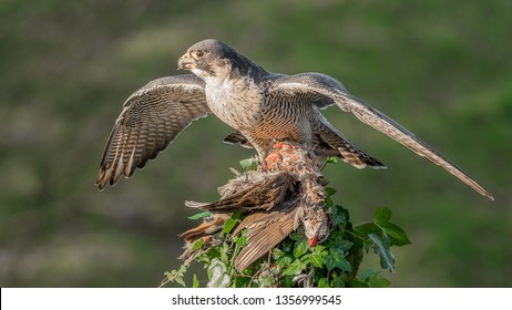 A peregrine falcon with wings spread out perched at the top of an ivy covered tree stump. It has caught a red legged partridge  for its prey