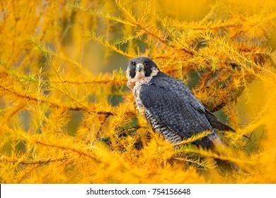 Peregrine Falcon in yellow autumn larch tree. Bird of prey Peregrine Falcon sitting in orange autumn forest. Cute bird in fall wood, Sweden nature.