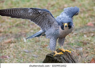 Peregrine Falcons catch medium-sized birds in the air with swift, spectacular dives, called stoops