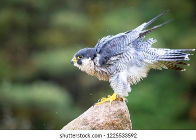 Peregrine Hawk sitting on a tree