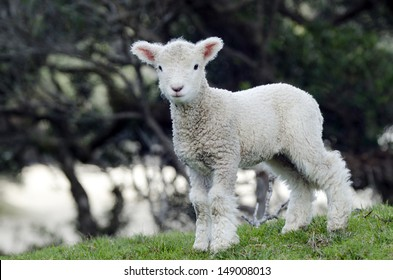Perendale Sheep lamb.It's a breed of sheep developed in New Zealand by Massey Agricultural College (now Massey University) for use in steep hill situations. It is raised primarily for meat.