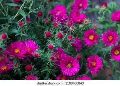 Perennial Aster - flowering pink autumn flowers in the garden background
